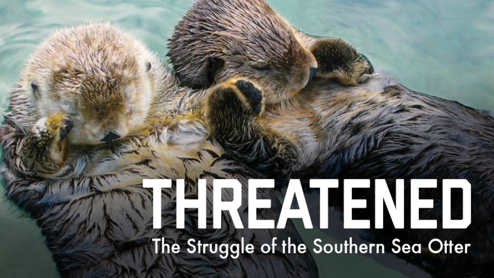 Threatened: The Struggle of the Southern Sea Otter | Kanopy