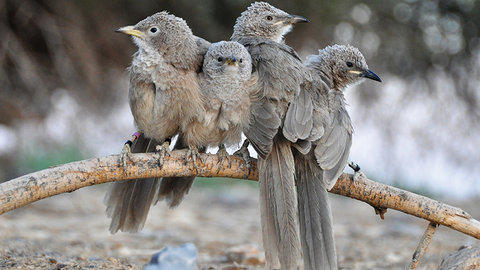 Why Help? - The Story of the Babbler Birds