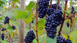 Winemaking: From Vineyard to Harvest
