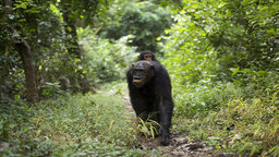 Walking With the Great Apes - Chimpanzees