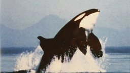 Orca: Killer Whale or Gentle Giant